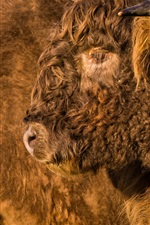 Preview iPhone wallpaper Buffalo furry fur, face, head