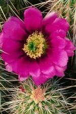 Preview iPhone wallpaper Cactus blooms, needles, purple flower