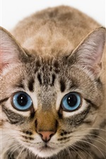 Preview iPhone wallpaper Cat front view, face, blue eyes