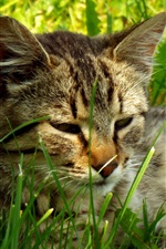 Preview iPhone wallpaper Cat lying on grass to rest
