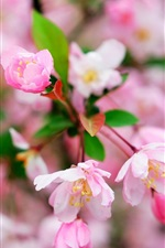 Preview iPhone wallpaper Cherry flowers macro photography, flowering, spring