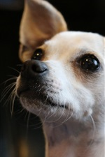 Preview iPhone wallpaper Chihuahua dog, face