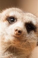 Preview iPhone wallpaper Cute meerkat look at you, face