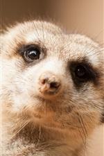 Preview iPhone wallpaper Cute meerkat look at you, face