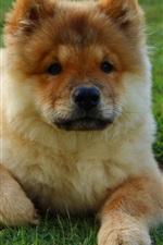 Preview iPhone wallpaper Cute puppy, green grass