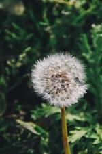 Preview iPhone wallpaper Dandelion flower close-up, green grass