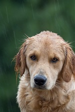 Preview iPhone wallpaper Dog in rain, wetting