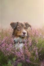 Собака взгляд, полевые цветы