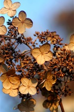 Preview iPhone wallpaper Dry hydrangea flowers, bokeh, autumn