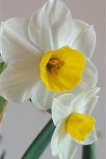 Family flowers, white daffodils