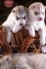Five puppies, husky, toy wagon