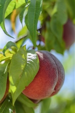 Preview iPhone wallpaper Fresh peaches, tree, leaves