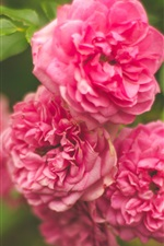 Preview iPhone wallpaper Garden flowers, pink rose