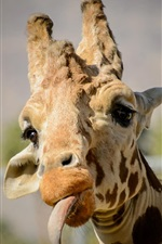 Preview iPhone wallpaper Giraffe funny time, tongue, face