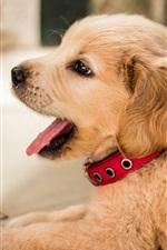 Preview iPhone wallpaper Golden retriever, cute puppy rest