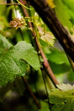 Preview iPhone wallpaper Grapes leaves, water droplets, summer