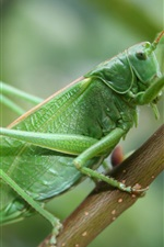 Preview iPhone wallpaper Grasshopper, insect macro photography