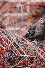 Gray feather bird, twigs, red berries