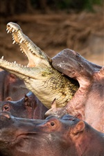 Preview iPhone wallpaper Hippos attack crocodile