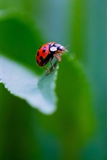 Preview iPhone wallpaper Insect, ladybug, green background