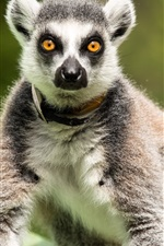 Preview iPhone wallpaper Lemur stand, look
