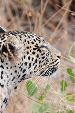 Leopardo, costas, vista, grande, gato, capim