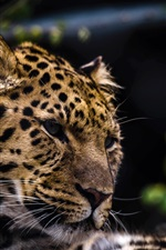 Preview iPhone wallpaper Leopard face close-up, predator, big cat
