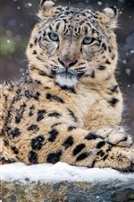 Preview iPhone wallpaper Leopard in the winter, snow, wildlife
