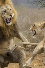 Preview iPhone wallpaper Lioness and lion attack