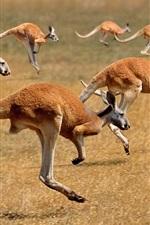 미리보기 iPhone 배경 화면 많은 캥거루 실행, 포유류, 호주