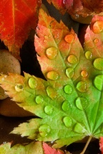 Preview iPhone wallpaper Maple leaves close-up, water droplets, stones