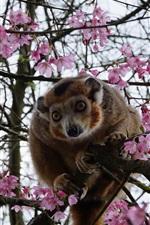 Macaco, árvore, cereja, flores, primavera