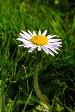 One daisy, white flower, green grass