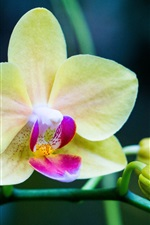 Preview iPhone wallpaper Orchid, yellow phalaenopsis