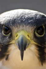 Preview iPhone wallpaper Peregrine falcon, bird photography, face, head, beak