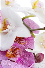 Preview iPhone wallpaper Phalaenopsis, white and pink flowers, water droplets