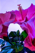 Pink hibiscus flowers close-up, blue background