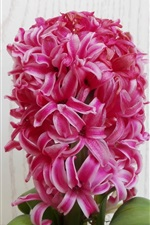 Preview iPhone wallpaper Pink hyacinth flowers, family flowers