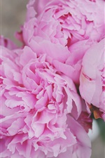 Preview iPhone wallpaper Pink peonies close-up, flowers, petals