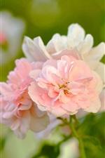 iPhone обои Розовые розы, лепестки, бутоны, боке