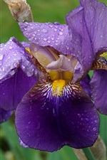 Purple iris flower, water droplets