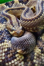 Preview iPhone wallpaper Rattlesnake close-up, snake, scales, tree