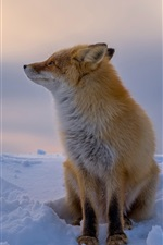 Preview iPhone wallpaper Red fox in the winter, thick snow