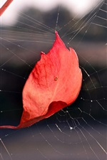 Preview iPhone wallpaper Red leaf in the web