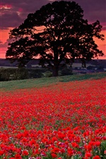 Preview iPhone wallpaper Red poppies, flowers, trees, clouds, sunset