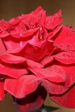 Red rose close-up, petals, dew
