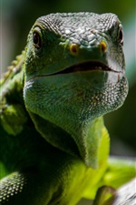 Preview iPhone wallpaper Reptile lizard close-up, green scales