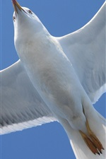 Preview iPhone wallpaper Seagull flying, bottom view, wings