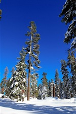 Spruce forest, trees, winter, snow