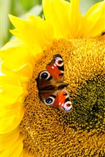 Preview iPhone wallpaper Sunflower and butterfly, yellow petals